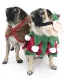 Pugs do Natal que olham acima Fotografia de Stock Royalty Free