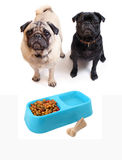 Pugs and dogfood Royalty Free Stock Photo