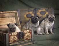 3 pugs in een borst Royalty-vrije Stock Afbeeldingen