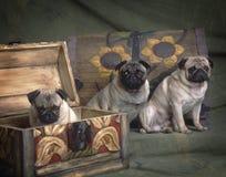 3 Pugs in einem Kasten Lizenzfreie Stockbilder