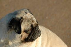Pugs - il cane da guardia Fotografia Stock Libera da Diritti