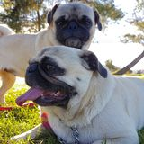 Pugs. Royalty Free Stock Images