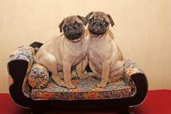 Pugs novos que sentam-se em um sofá imagens de stock
