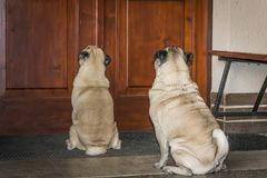 Pugs on a porch in front of the door. White pugs waiting in front of the doors Royalty Free Stock Photography