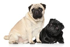Pugs preto e marrom Foto de Stock Royalty Free