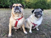 Pugs sat on grass