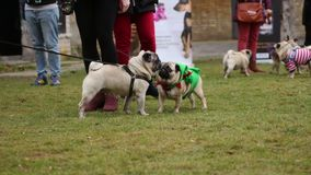 Pugs sniffing each other to get acquainted, many people walking dogs outdoors. Stock footage stock video footage