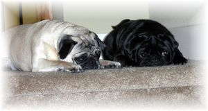 Pugs at the top of the stairs stock photos