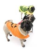 Pugs van Halloween Stock Fotografie