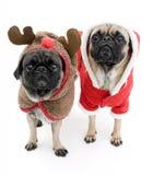 Pugs van Kerstmis Royalty-vrije Stock Afbeelding