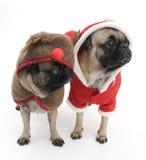 Pugs van Kerstmis Stock Foto