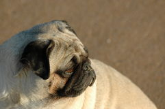 Pugs - the watchdog royalty free stock photo