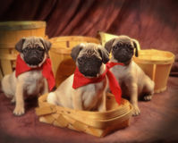 3 pugs Royalty Free Stock Photography