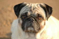 Pugsley Stock Photography
