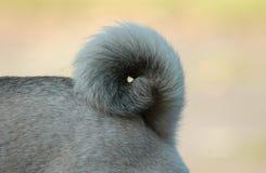 Pugtale Стоковое Изображение RF