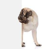 Pugwelpe, der von hinten leeres Brett späht Lokalisiert auf Weiß Stockbilder