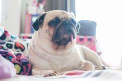 Pugwelpe Hund der Nahaufnahme netter, der auf ihrem Bett stillsteht stockbilder