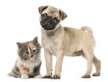 Pugwelpe und Europäisch Kurzhaar-Kätzchen, lokalisiert auf Weiß Stockfotografie