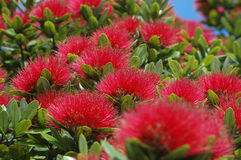 Puhutakawa blossoms Royalty Free Stock Image