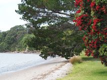 Puhutakawaboom in het strand van Nieuw Zeeland het plaatsen Stock Afbeeldingen