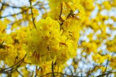 Pui Flowering amarelo fotografia de stock royalty free