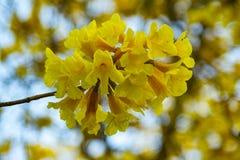 Pui Flowering amarelo fotos de stock