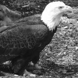 Puissance de l'aigle Images libres de droits