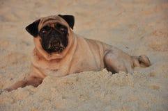 Puk-Hund stockfotos