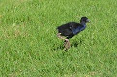Pukeko - птицы уроженца Новой Зеландии Стоковое фото RF