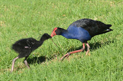 Pukeko - птицы уроженца Новой Зеландии Стоковые Фотографии RF