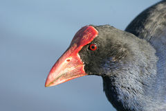 Pukeko bird. Adult pukeko standing in front of the water stock photo