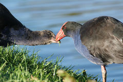 Pukeko bird feeding chick. Pukeko bird feeding her chick on the side of the wetland area stock photography