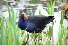Pukeko Royalty Free Stock Image