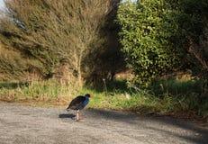 Pukeko bird Royalty Free Stock Photo