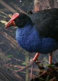 Pukeko Bird Royalty Free Stock Photos