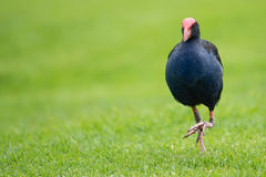 Pukeko bird Royalty Free Stock Photography