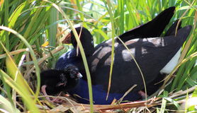 Pukeko & Chick on Nest Royalty Free Stock Photos