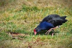 Pukeko com seus parte dianteira azul profunda, conta vermelha brilhante e pés laranja-vermelhos em Travis Wetland Park em Nova Ze fotografia de stock