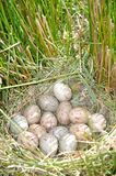 Pukeko eggs Royalty Free Stock Photo