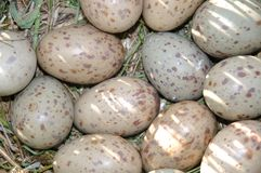 Pukeko eggs Royalty Free Stock Images