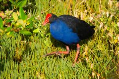 Pukeko. Foraging for food in grass stock photo