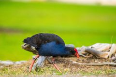 Pukeko. Foraging for food in grass stock photos