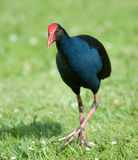 Pukeko - galinha do pântano de NZ Fotografia de Stock