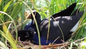 Pukeko & kurczątko na gniazdeczku Zdjęcia Royalty Free