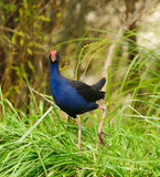 Pukeko Royalty Free Stock Photo