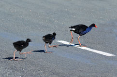 Pukeko - New Zealand Native Birds Royalty Free Stock Photos