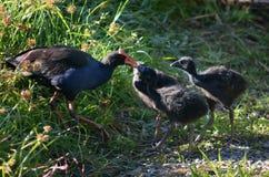 Pukeko - New Zealand Native Birds Royalty Free Stock Photo