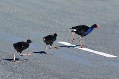 Pukeko, Nowa Zelandia miejscowego ptaki - Zdjęcia Royalty Free