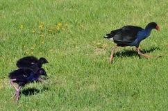 Pukeko, Nowa Zelandia miejscowego ptaki - Zdjęcie Royalty Free