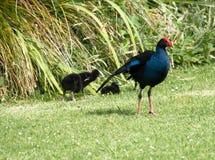 Pukeko - NZ bagna karmazynka z potomstwami, Fotografia Stock